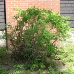 Trimmed Forsythia shrub